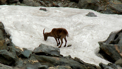 Chamois eating snow near Lac du Louvie