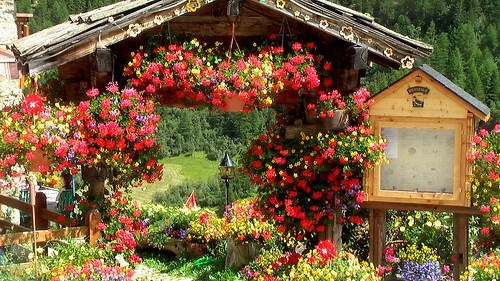 flowers-Arolla