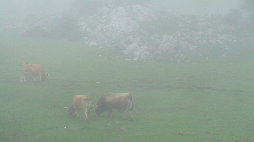cows-in-fog