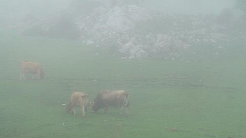 cows-in-fog
