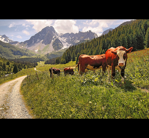 TMB cows