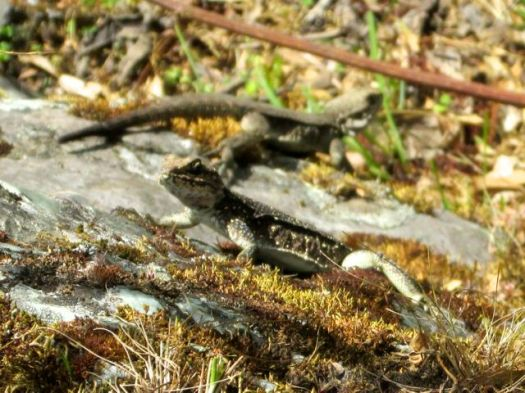 lizards - Kuari day 3