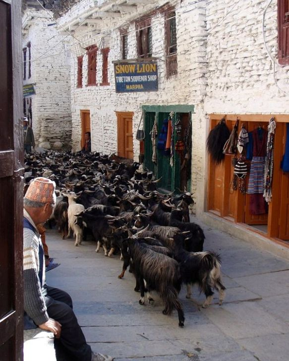 600px-Goats_in_Marpha