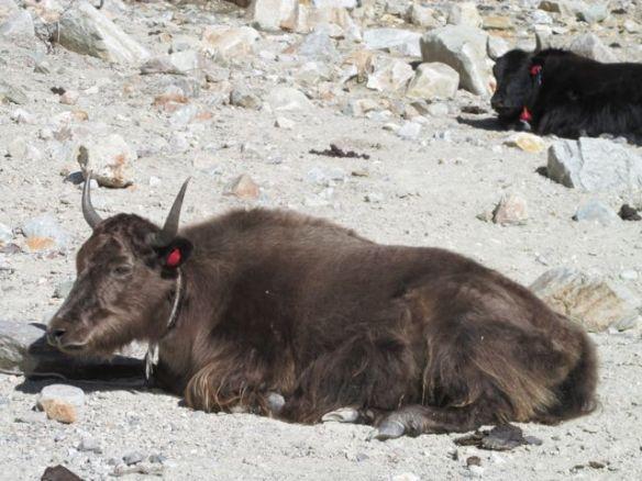 yaks on the beach