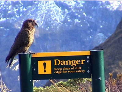 Kea (parrot) atop Mackinnon Pass