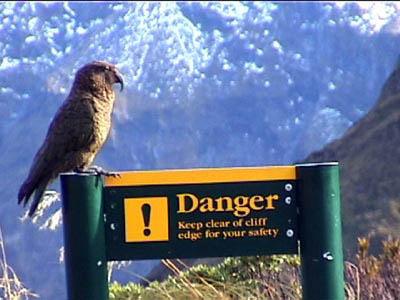 Kea (parrot) atop Mackinnon Pass