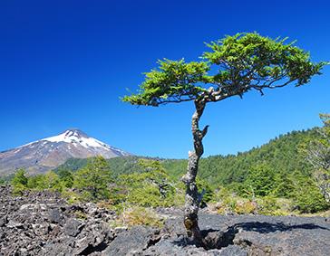 villarica-tree
