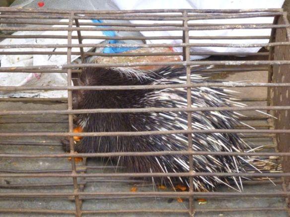 porcupine Sapa