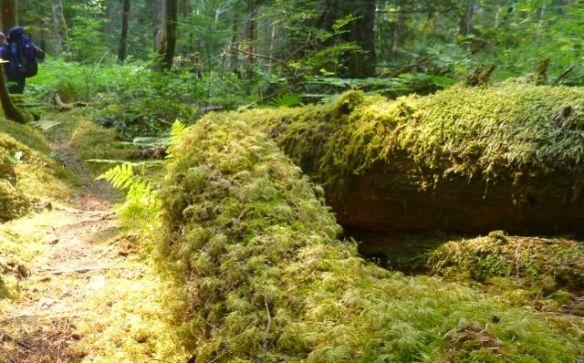 lush temperate rain forest greenery