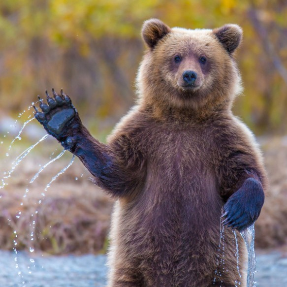 lake-clark-bear-waving_ph