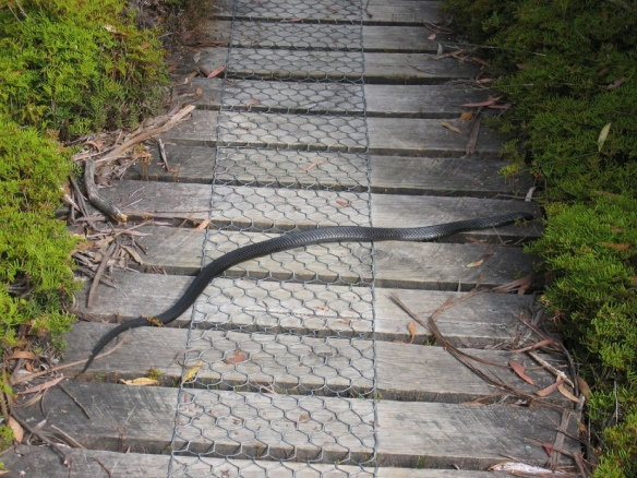 Tiger snake on the SCT