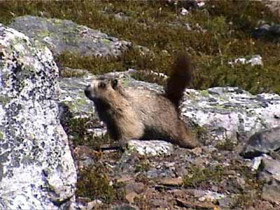 025_marmot_attack