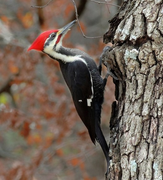 Pileated woodpecker, Vancouver Island 1