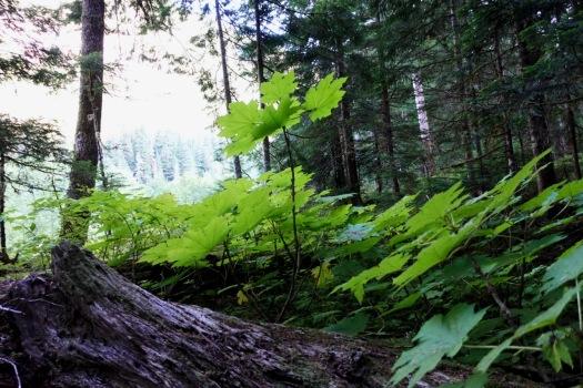 Elk River trail to Landslide Lake, Strathcona Park B.C. 63